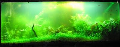 El agua de la pecera se torna verde
