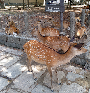 nara-ciervos-semisalvajes