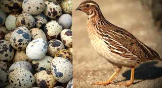 quail-farming-in-nigeria-facts-you-should-know