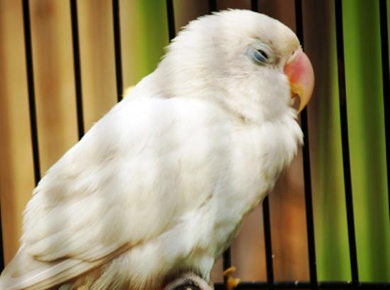 48  Gambar Burung Lovebird Dan Namanya  Paling Keren