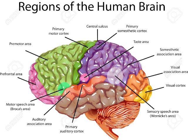 Human Brain System