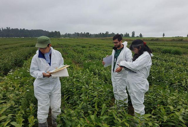 Osorno: comienza exportación de bulbos de tulipanes🌷