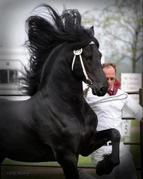 Caballo negro pura sangree