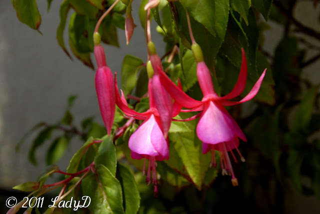 Blooming Fuchsia Plant