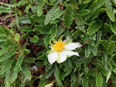 Dryas octopetala – White Dryas, Mountain Avens (Camedrio alpino)