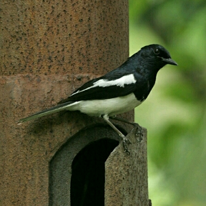 cara pancing suara burung kacer muda
