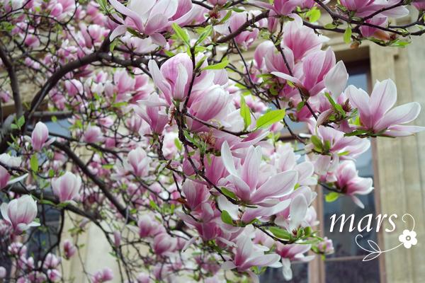 lyon magnolias
