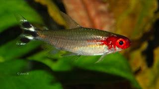 Ikan Aquascape Terindah Red  Nose