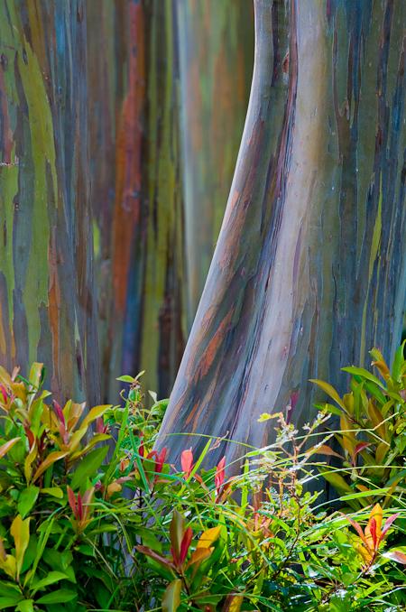 momentaneamente Eucalyptus deglupta