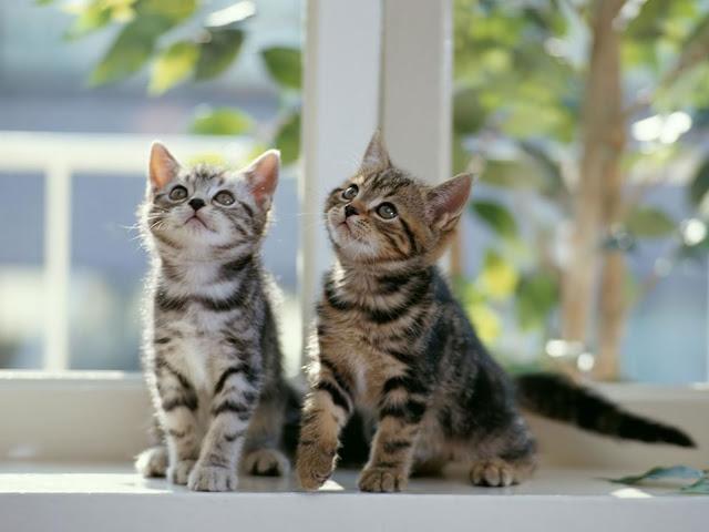 imagenes de gatitos tiernos, teamoimagenes.com