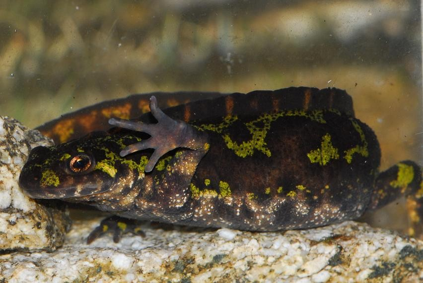 Amphibians: Marbled Newt - Triturus marmoratus