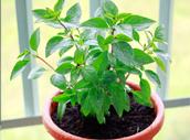 http://finfingarden.blogspot.com/2015/06/thai-sweet-basil-plant.html