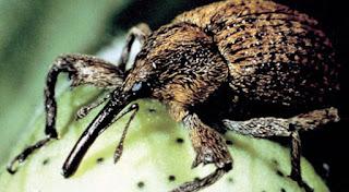 Pamuk Hortumlu Böceği Nedir? Hakkında Bilgi