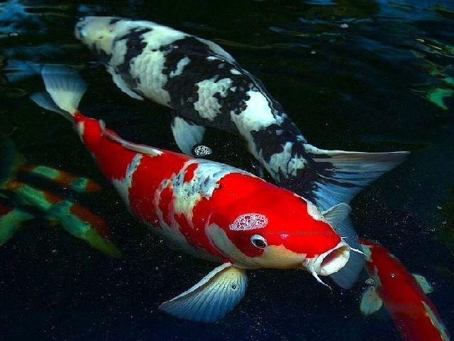 Ikan Koi Cacat