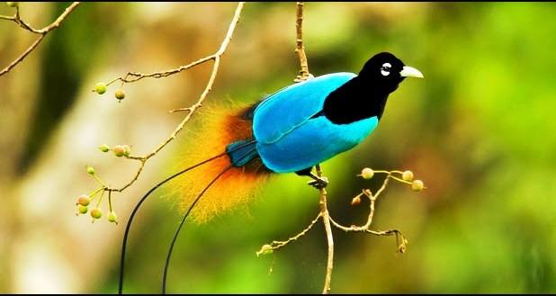 Jenis Burung Cenderawasih