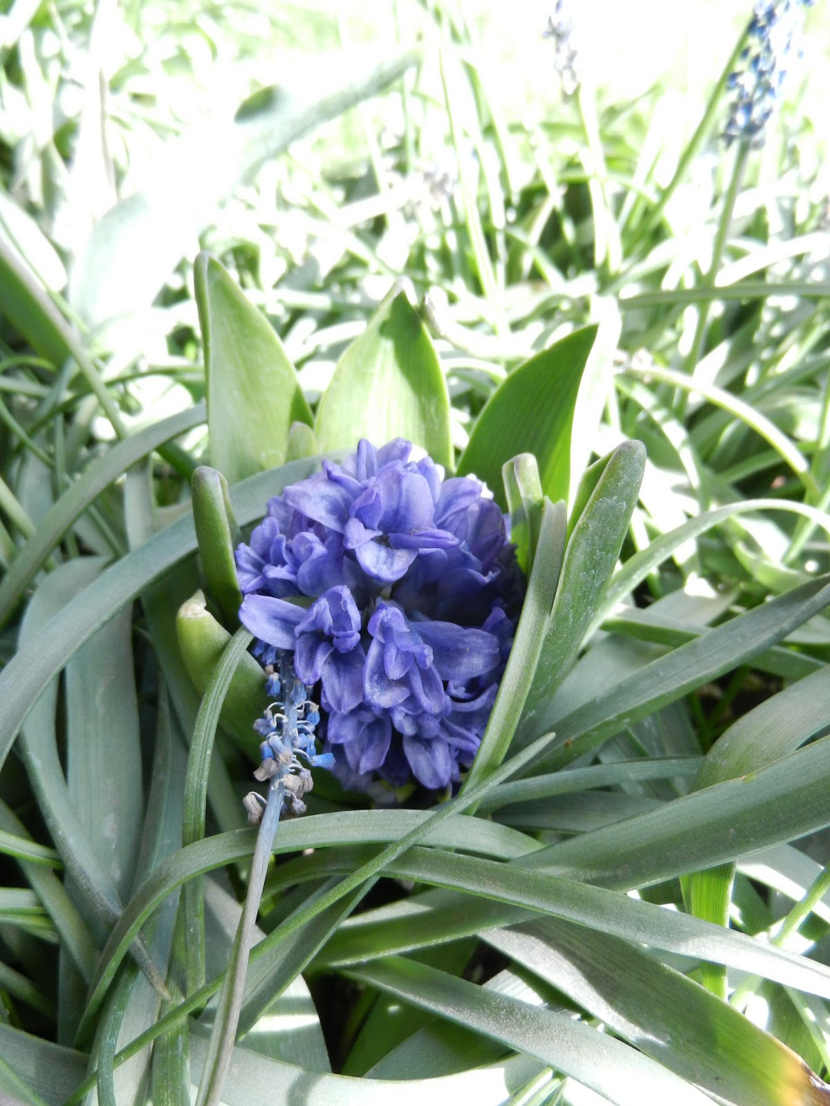 blooming hyacinth picture