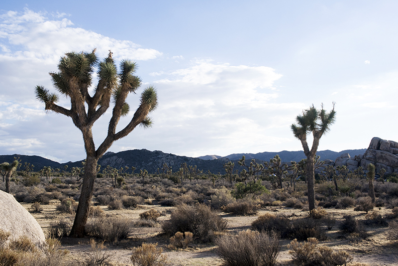 Joshua Tree National Park, Joshua Tree, Mojave Desert, Colorado Desert, DSLR, Landscape Photography, Desert Photography