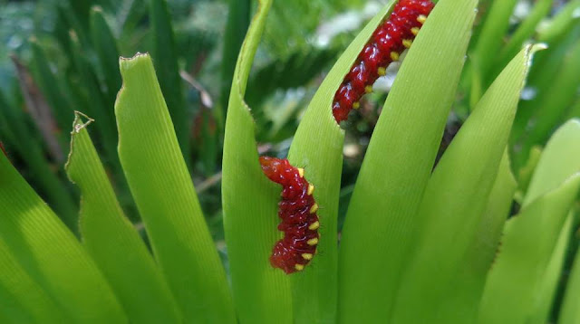 Atala caterpillars on coontie
