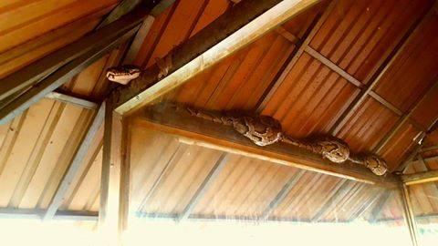 Ce n'est pas courant mais cela arrive, en raison des démolitions de vieilles maisons en bois dont les greniers habitent parfois quelques reptiles attirés par les recoins et la chaleur, il y a des pythons dans Phnom Penh. Celui-ci s'est retrouvé sous la charpente d'un marché de BKK1, apparemment après s'être rassasié de quelques rongeurs chassés des égouts par la pluie. Heureusement, ce dernier n'a pas fini dans la marmite à soupe, les membres de l'équipe d'intervention pour le sauvetage des animaux a pu le récupérer. Il finira probablement sa digestion à Phnom Tama avant d'être relâché dans la forêt.