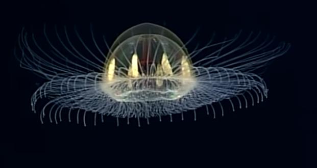 """Pesquisadores filmam água-viva com aparência """"cósmica"""""""