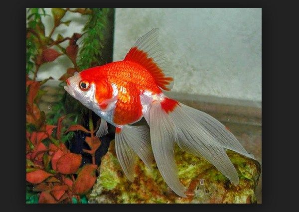 Cara Merawat Ikan Mas Moki Yang Sakit