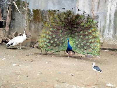 Burung Merak Biru Indukan