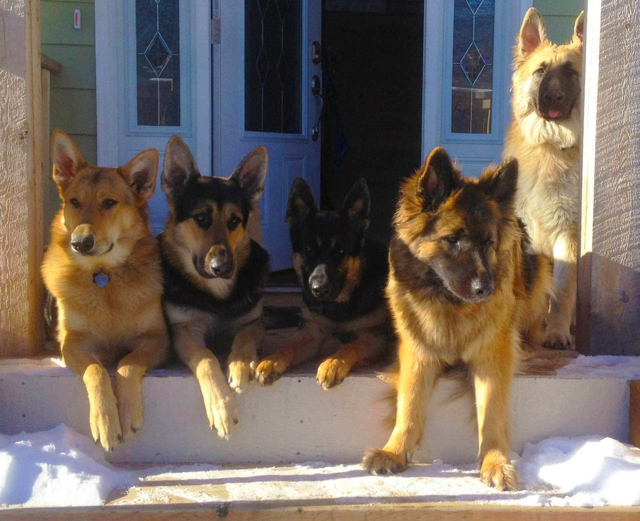 Cute dogs - part 9 (50 pics), five cute german shepherd dogs sits on the porch