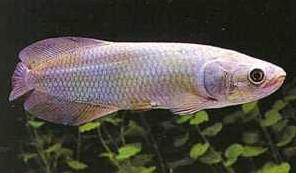 Jenis Ikan Ikan Arwana afrika