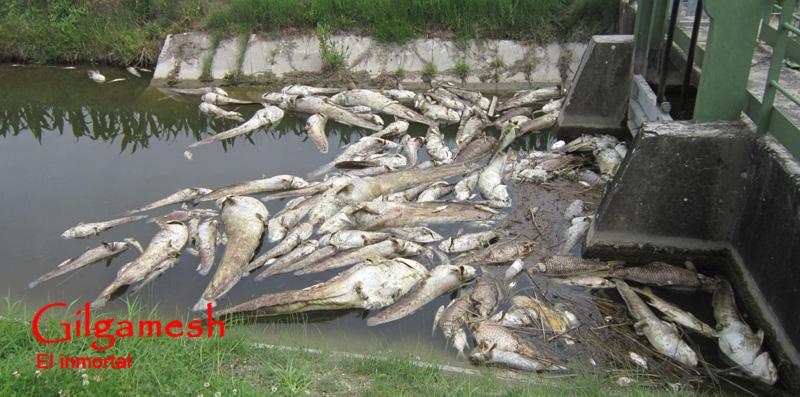 Tiempo final los peces siguen muriendo tambi n italia for Peces de agua estancada
