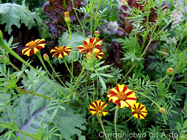 Tagetes patula 'Striped Marvel'
