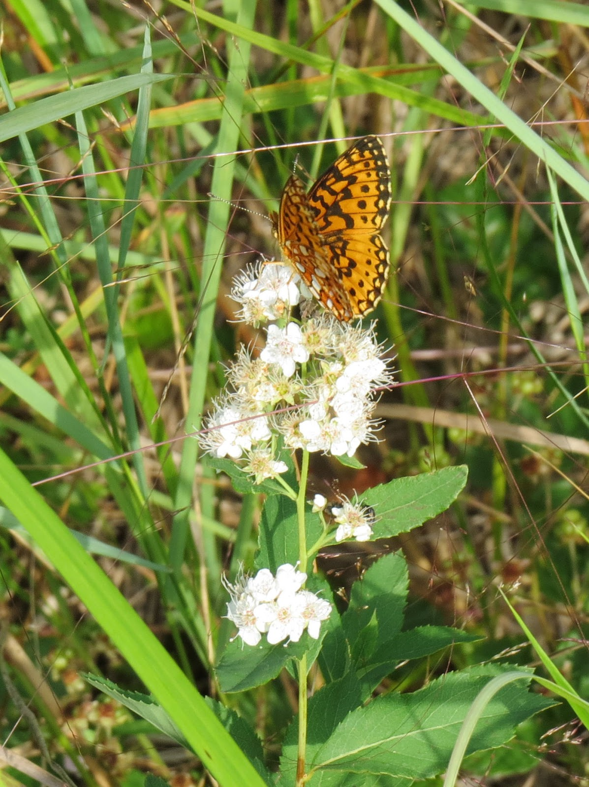 silver-bordered fritillary on meadowsweet