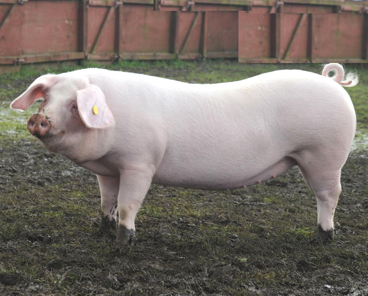 pig farming business plan