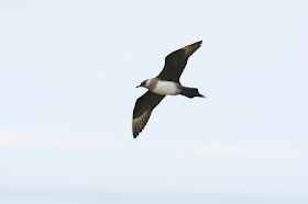 Arctic Skua by Moss Taylor