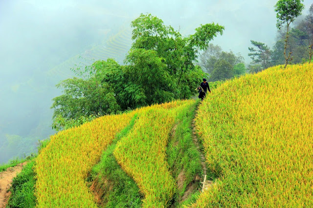 Cross the slope pass to Phung village to see the ripe rice paddies 2