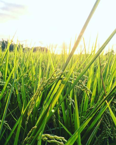 「2017桃園地景藝術節」主場地──觀音白千層林道旁,有藝術家蕭凱文以12根漂流木創作出一朵朵立於牧草田上的裝置藝術「補囊」,在藍天襯托下相當醒目。