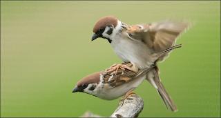 Burung Gereja Yang Bisa Jadi Masteran