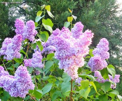Flieder schmückte mit seine duftenden Blüten einst jeden Garten