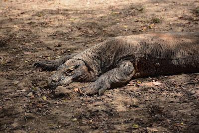 keindahan pulau rinca menjadi saksi sejarah bertahan hidup kadal raksasa selain di habitat Taman Nasional Komodo yang masuk sebagai 7 keajaiban dunia, mau tahu?