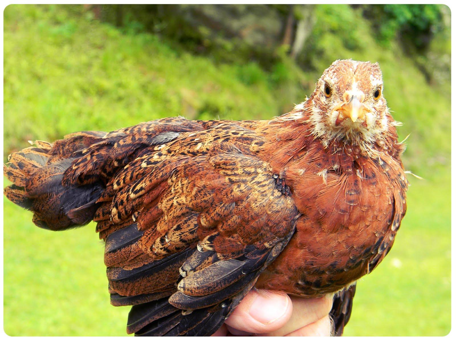 Cheap Way to Raise Chickens: FREE Chicks! | Bull Rock Barn