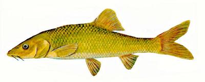 clanwilliam sawfin Barbus serra