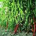 Sistem Pertanian Organik Modern