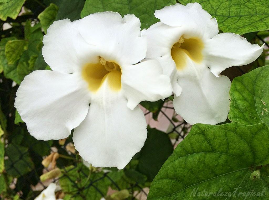 Tumbergia blanca, nombre popular de la variedad blanca de Thunbergia grandiflora