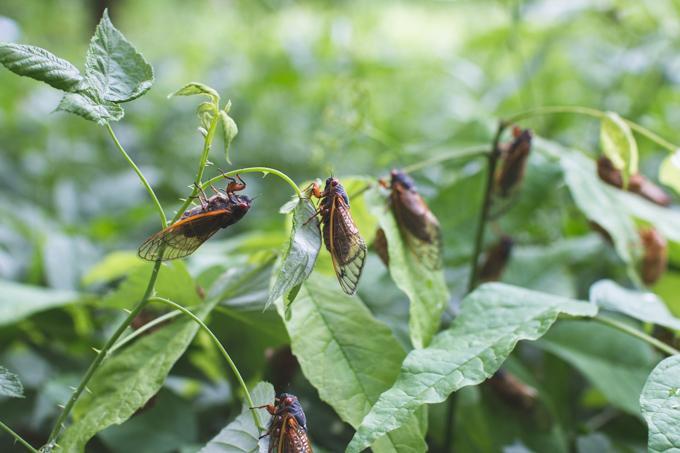 magicicada, ohio, cicada, periodical