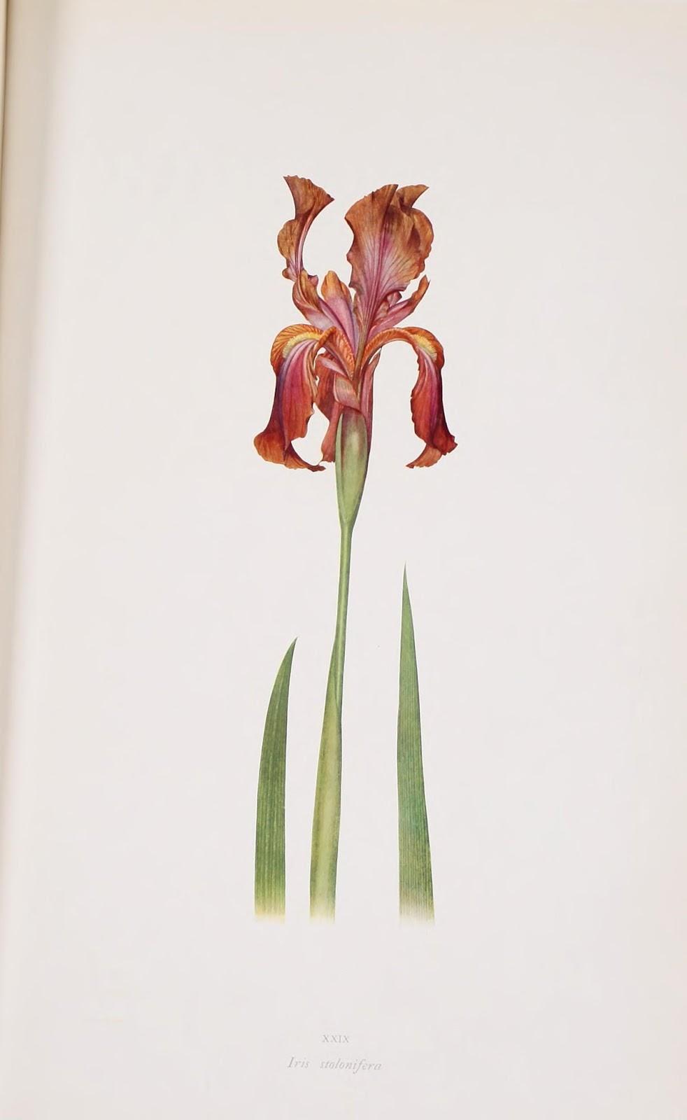 flor de lirio color granate