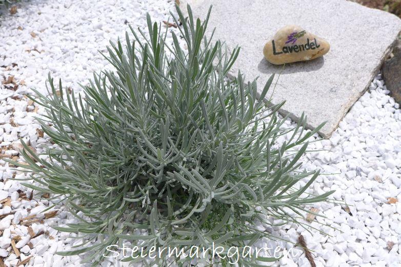 Lavendel-ohne-Blüte-Steiermarkgarten
