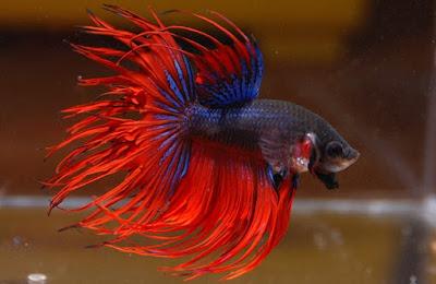 Ikan Cupang Crown Tail - Cara Budidaya Ikan Cupang