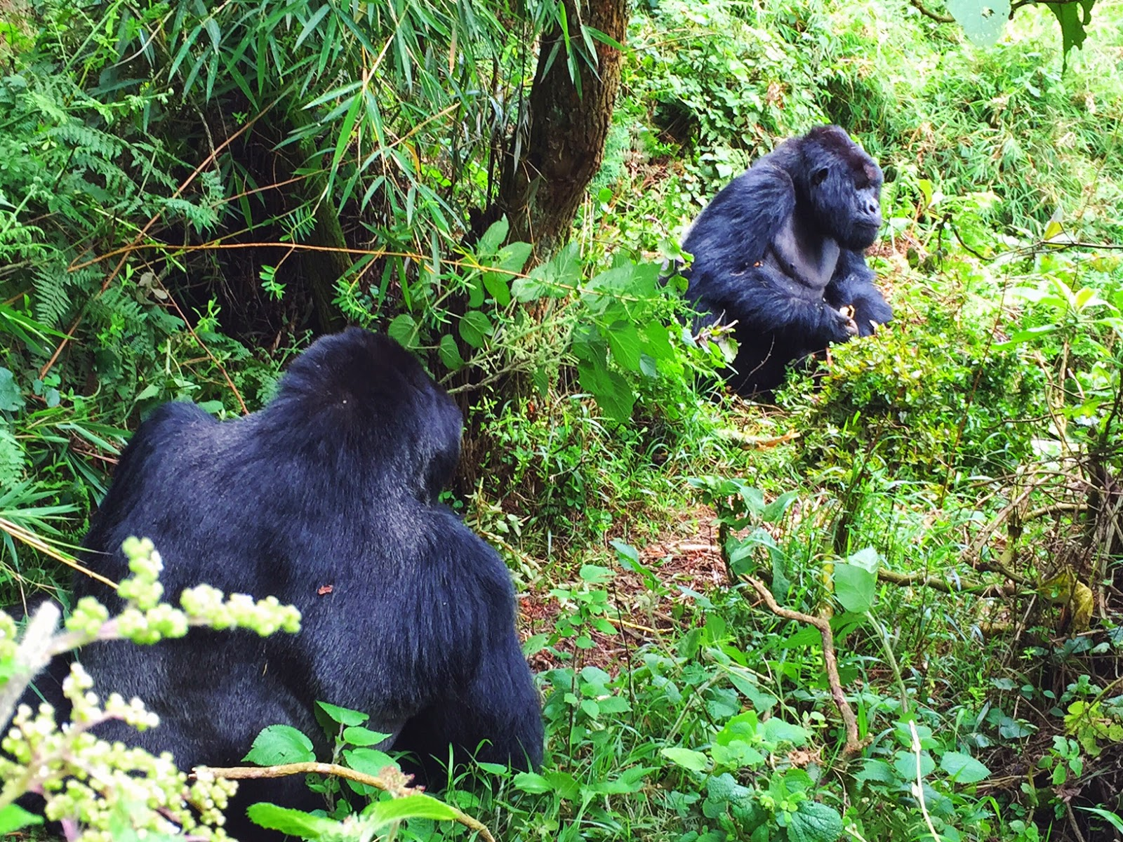 amahoro family mountain gorillas volcaoes national park rwanda africa