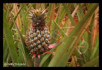 Phuket Pineapple [Sapparot - สัปปะรดภูเก็ต]