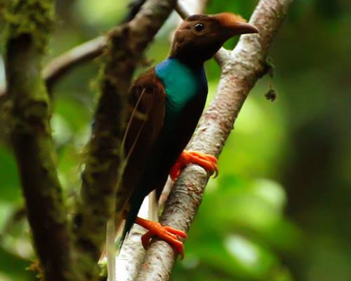 Travel.Tinuku.com Aketajawe-Lolobata National Park on Halmahera island, watching the beautiful birds and most rarest in the world