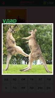 бой между кенгуру и один ударяет ногой другого